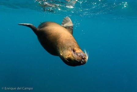 León marino bajo el agua