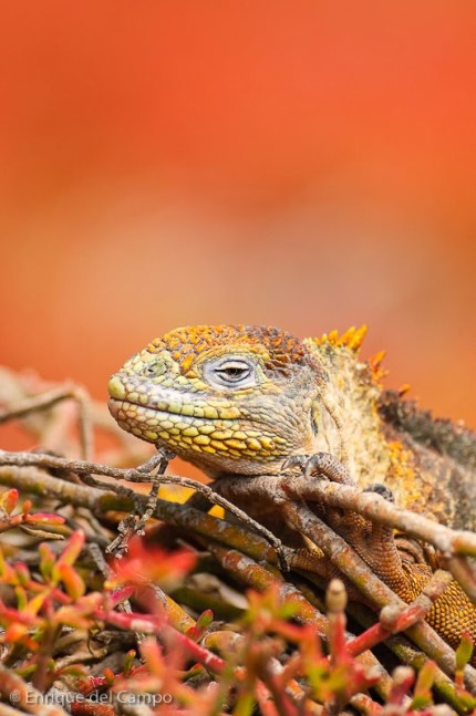 Iguana terrestre, Isla Plaza Sur